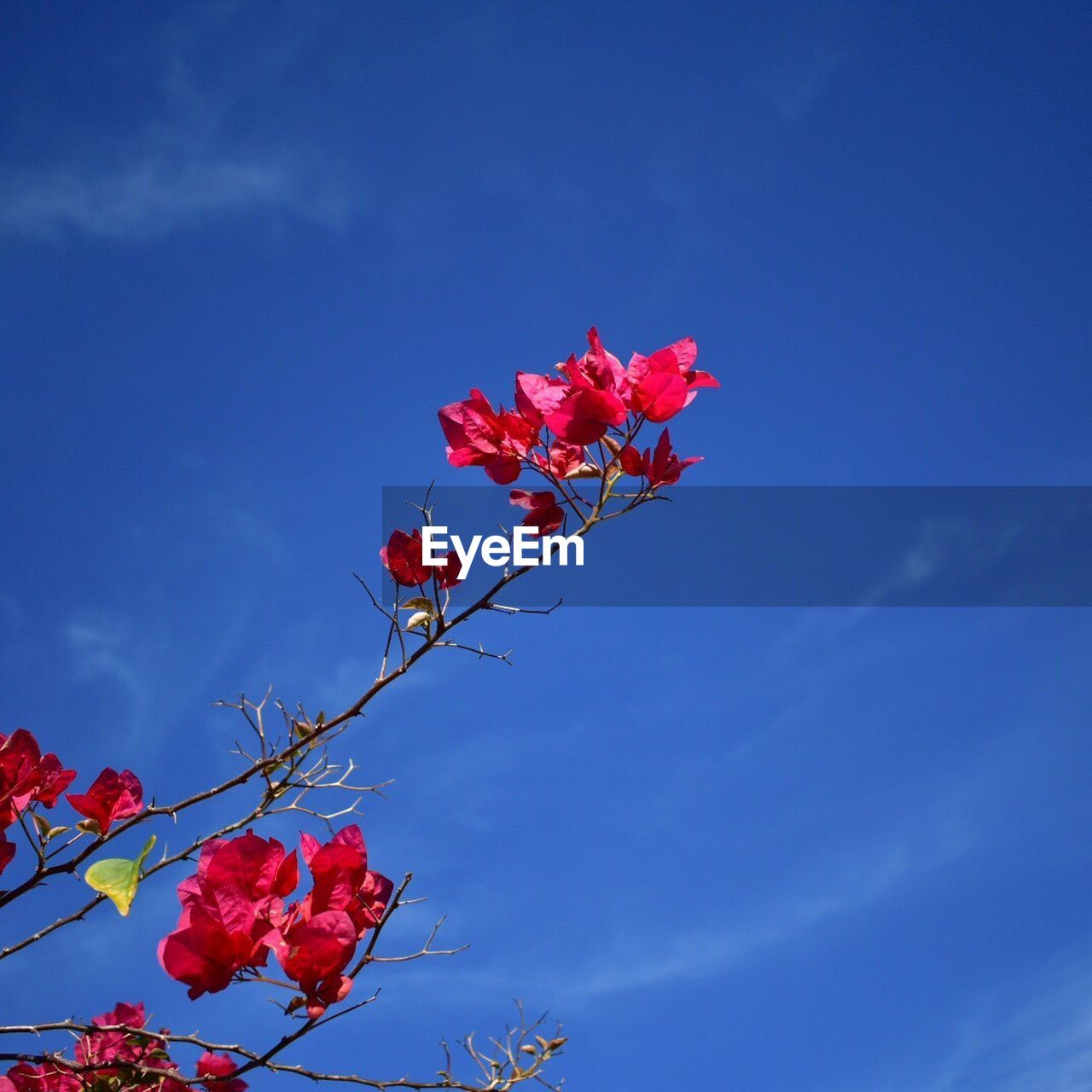 flower, fragility, growth, beauty in nature, tree, freshness, nature, petal, pink color, low angle view, sky, branch, no people, blossom, red, springtime, day, blooming, flower head, blue, outdoors, leaf, bougainvillea, close-up
