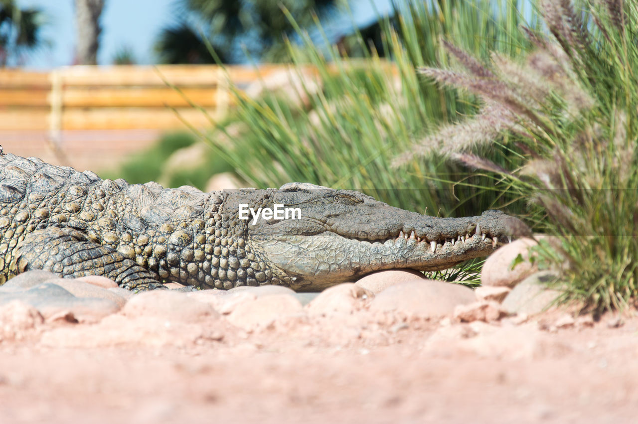 reptile, animal themes, one animal, animal, animals in the wild, nature, selective focus, animal wildlife, vertebrate, day, no people, close-up, plant, crocodile, animal body part, land, outdoors, sunlight, grass, focus on foreground, animal scale
