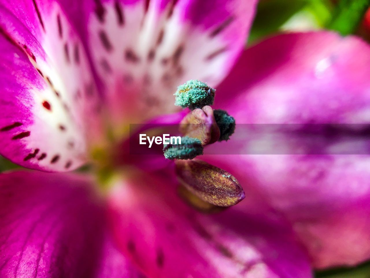 flower, flowering plant, close-up, growth, beauty in nature, purple, freshness, petal, pink color, selective focus, plant, fragility, inflorescence, vulnerability, flower head, no people, pollen, day, nature, outdoors