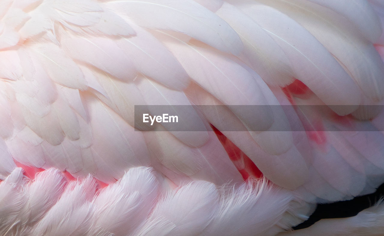 bird, animal, feather, animal themes, vertebrate, animal wildlife, animals in the wild, white color, close-up, no people, flamingo, nature, one animal, preening, day, beauty in nature, pink color, outdoors, focus on foreground, animal neck