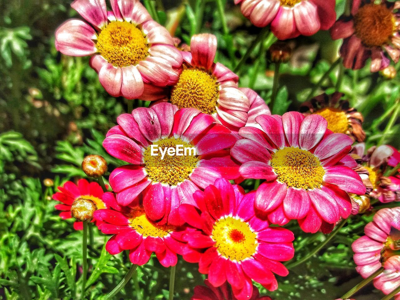 flower, nature, growth, petal, flower head, beauty in nature, freshness, fragility, plant, outdoors, day, no people, blooming, pink color, springtime, close-up