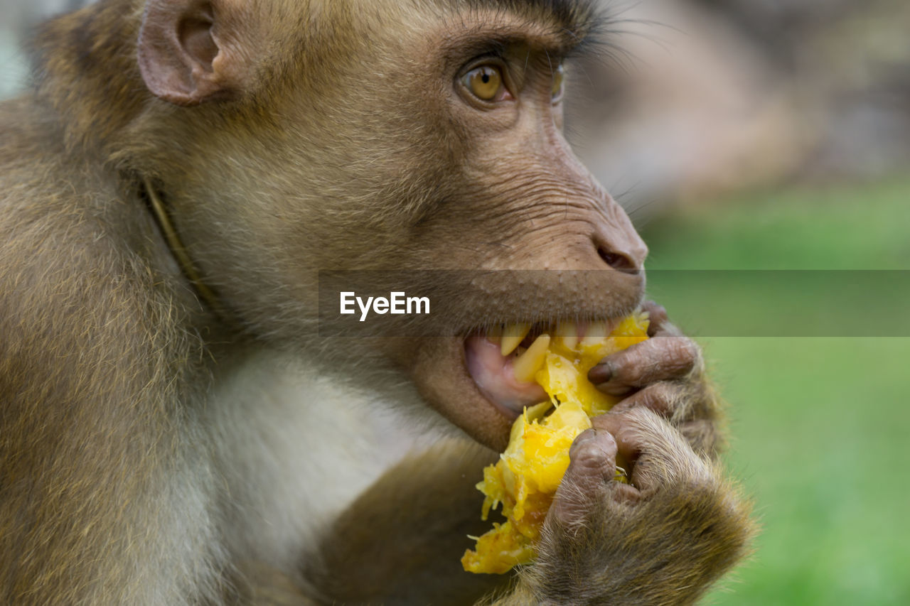 animal, animal themes, one animal, mammal, animal wildlife, primate, vertebrate, close-up, animals in the wild, focus on foreground, monkey, eating, food, no people, mouth, day, mouth open, food and drink, animal body part, nature, outdoors, animal head, animal mouth