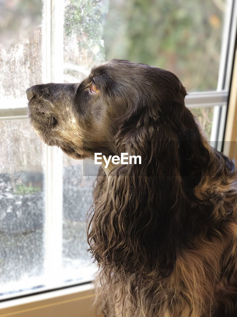 one animal, mammal, animal themes, animal, pets, window, domestic, domestic animals, dog, canine, vertebrate, looking, side view, day, transparent, glass - material, indoors, no people, looking away, close-up, animal head, profile view