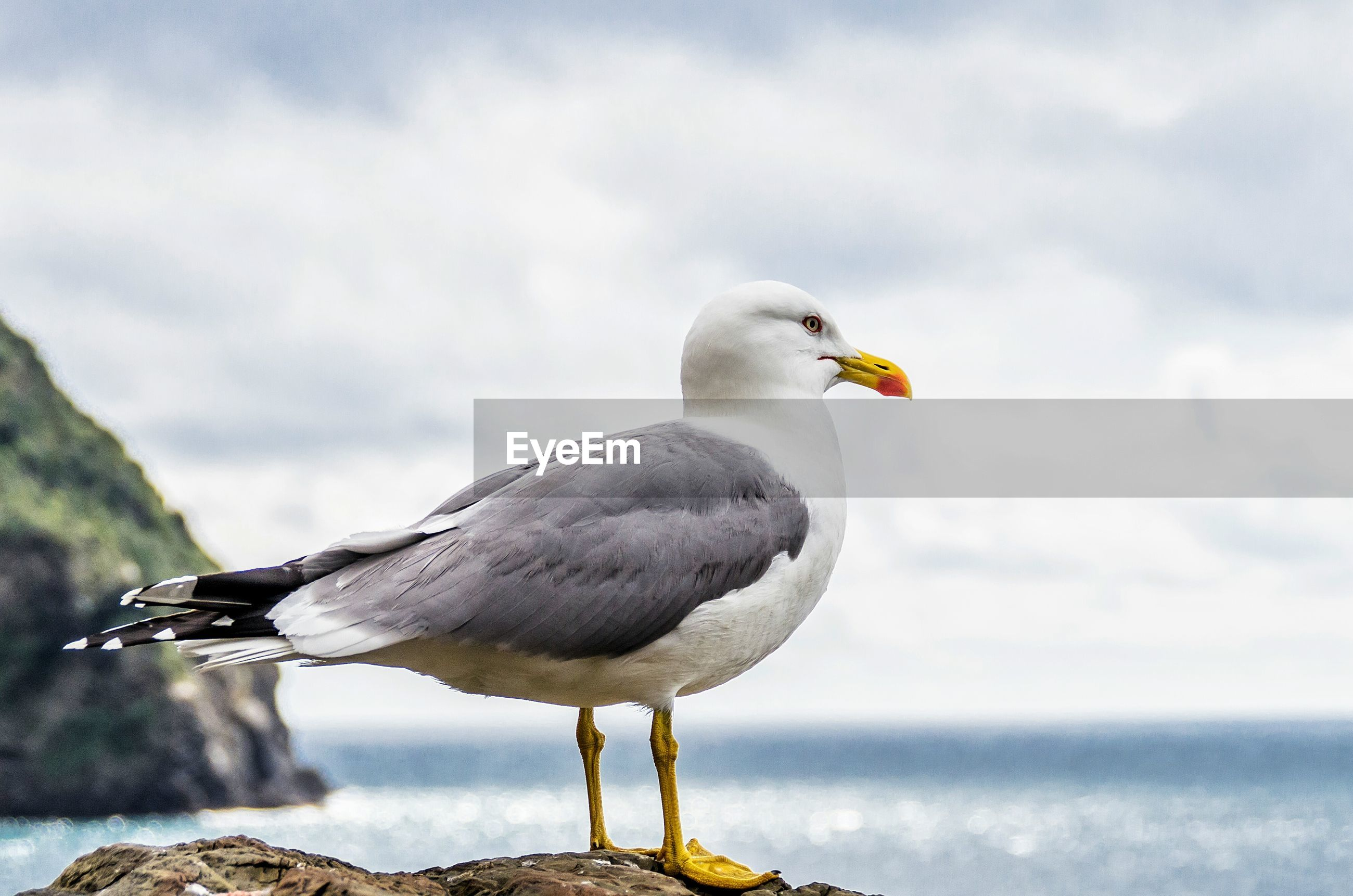 Full length side view seagull on rock