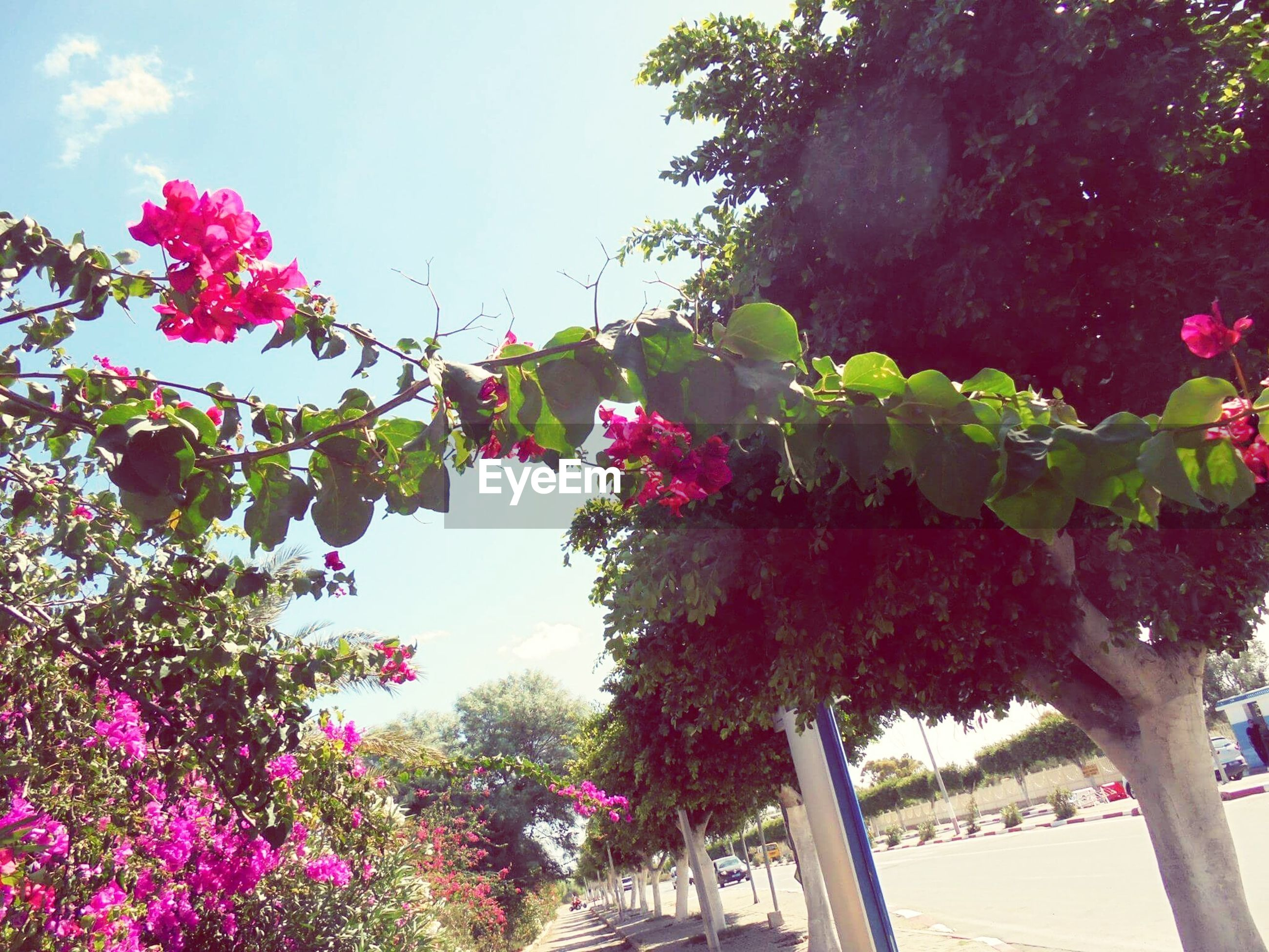 flower, growth, freshness, tree, pink color, beauty in nature, fragility, low angle view, plant, nature, clear sky, blooming, sky, leaf, branch, in bloom, blossom, sunlight, petal, day