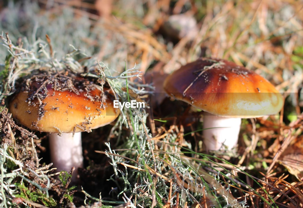 mushroom, fungus, toadstool, nature, growth, fly agaric, close-up, beauty in nature, focus on foreground, outdoors, fragility, freshness, vegetable, fly agaric mushroom, no people, day, grass