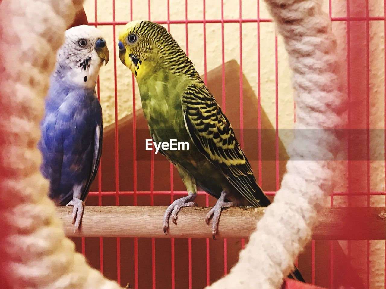 bird, animal themes, perching, budgerigar, birdcage, indoors, cage, parrot, no people, animals in the wild, day, close-up, nature, full length, togetherness, domestic animals, pets, mammal