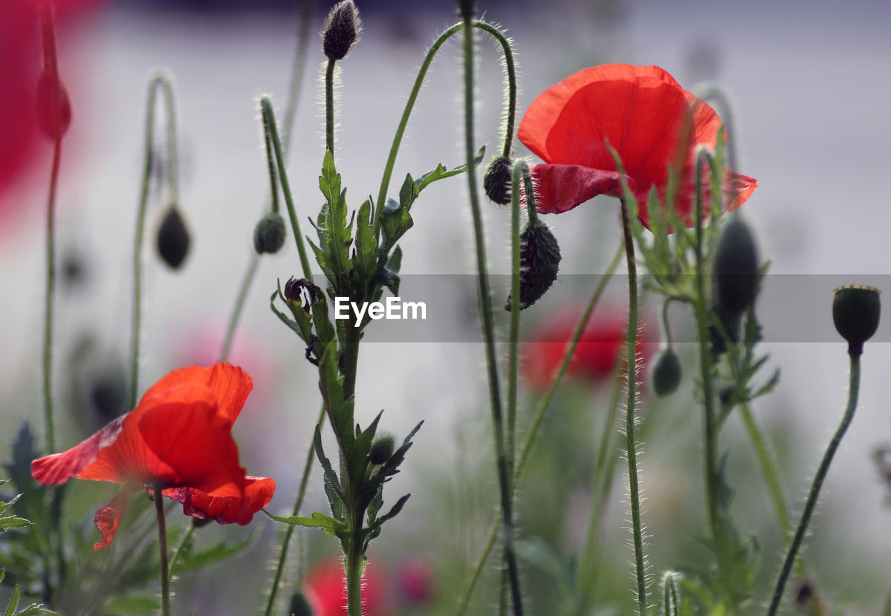 flower, flowering plant, plant, beauty in nature, vulnerability, fragility, freshness, petal, growth, red, close-up, flower head, inflorescence, focus on foreground, poppy, nature, plant stem, no people, day, bud, outdoors, sepal