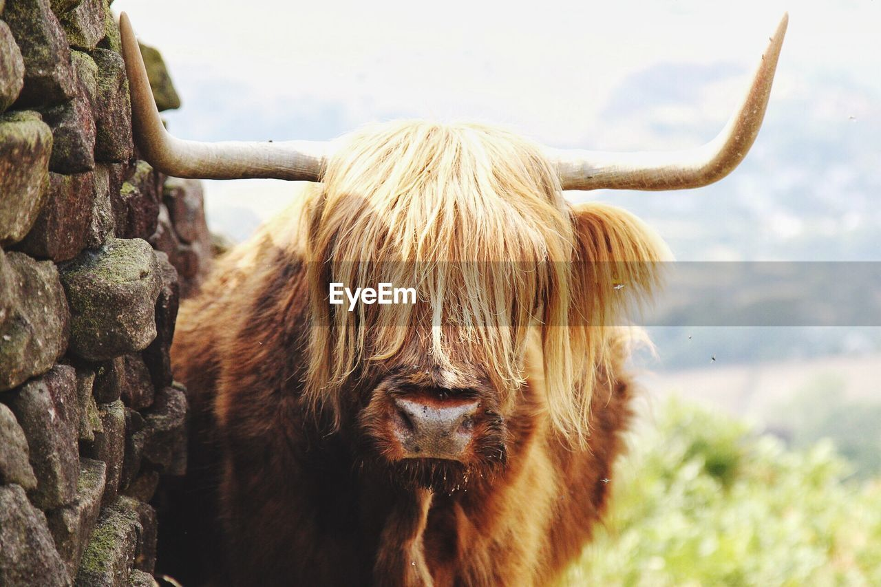 animal themes, animal, mammal, one animal, horned, vertebrate, pets, livestock, domestic animals, animal wildlife, domestic, animal hair, cattle, day, focus on foreground, highland cattle, nature, portrait, animal body part, no people, animal head, outdoors, herbivorous