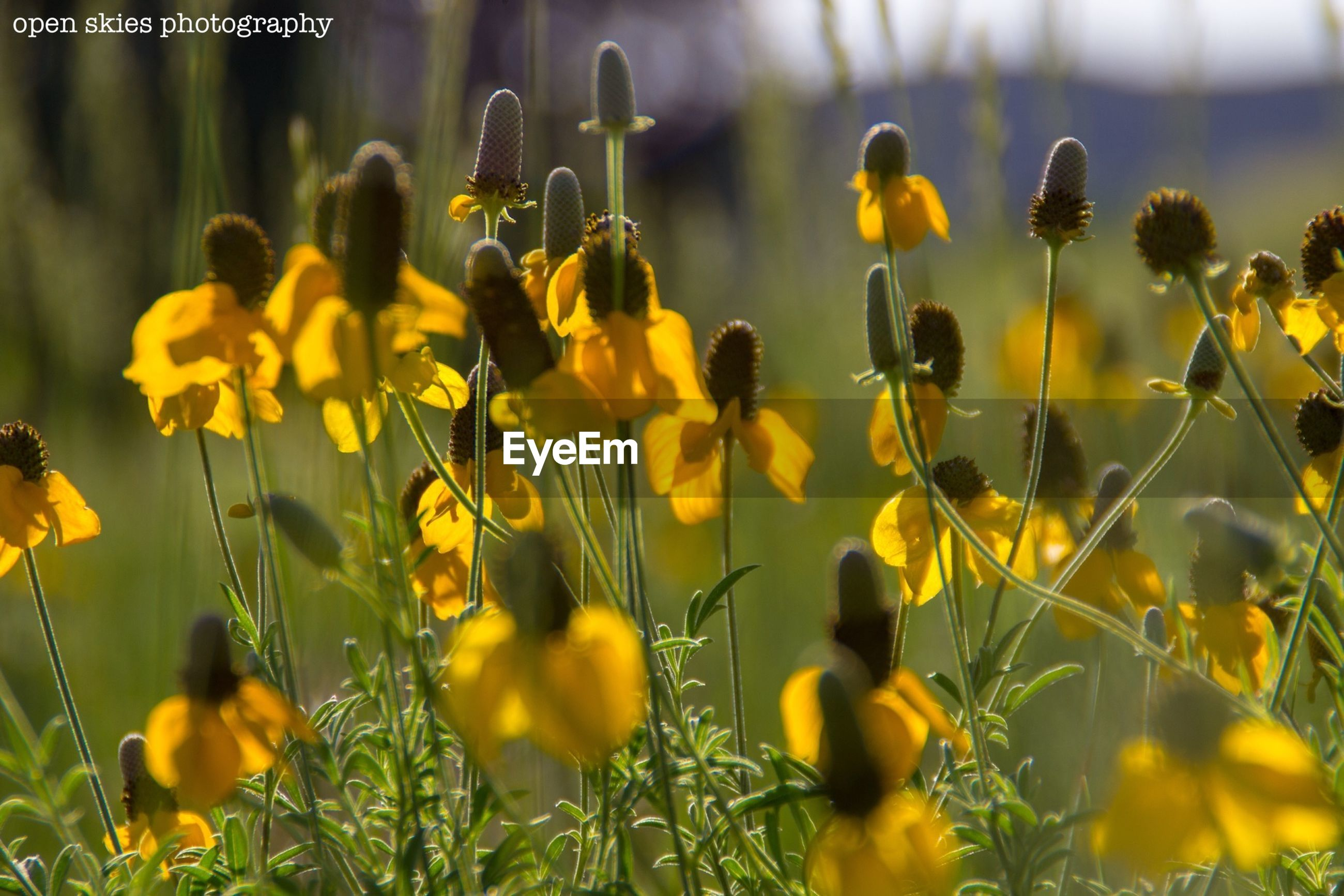 flower, freshness, yellow, growth, fragility, beauty in nature, focus on foreground, nature, plant, petal, field, blooming, close-up, flower head, stem, selective focus, in bloom, outdoors, bud, agriculture
