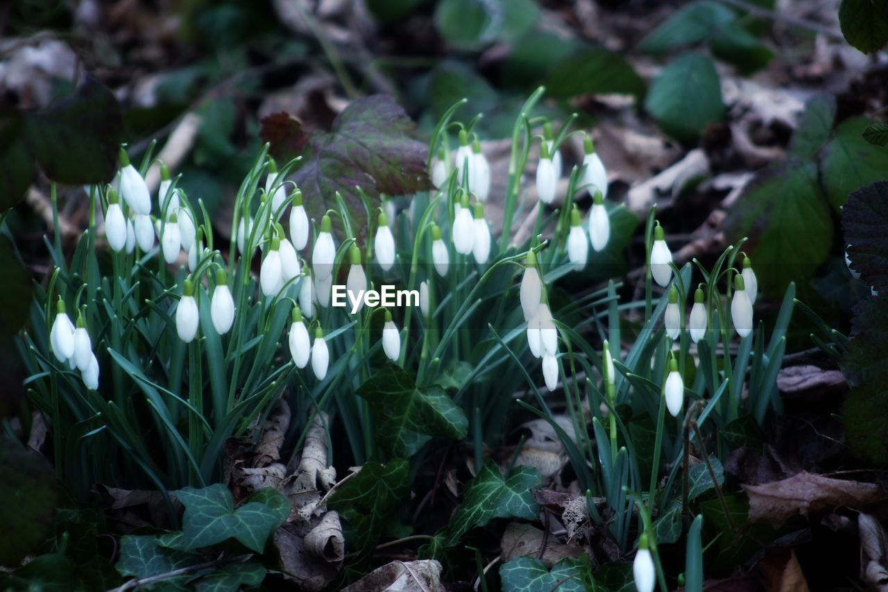 growth, flower, plant, flowering plant, beauty in nature, freshness, vulnerability, fragility, close-up, land, petal, nature, green color, field, no people, day, flower head, plant part, leaf, snowdrop, outdoors