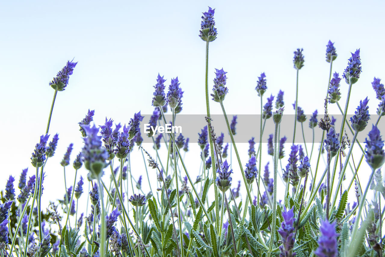 LOW ANGLE VIEW OF PURPLE FLOWERS BLOOMING IN FIELD