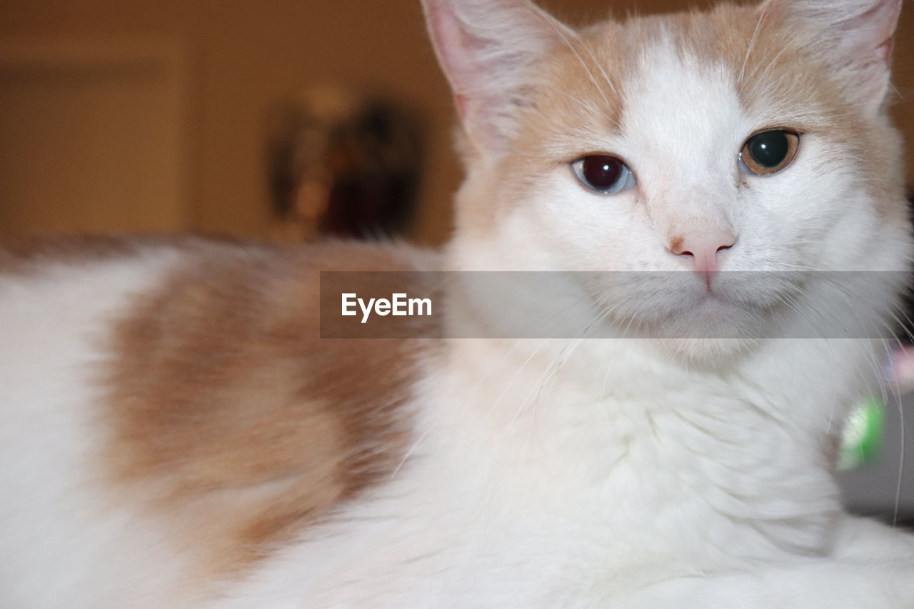 cat, domestic cat, domestic, pets, domestic animals, feline, mammal, animal themes, one animal, animal, vertebrate, portrait, close-up, indoors, no people, looking at camera, whisker, focus on foreground, home interior, looking, animal head, animal eye