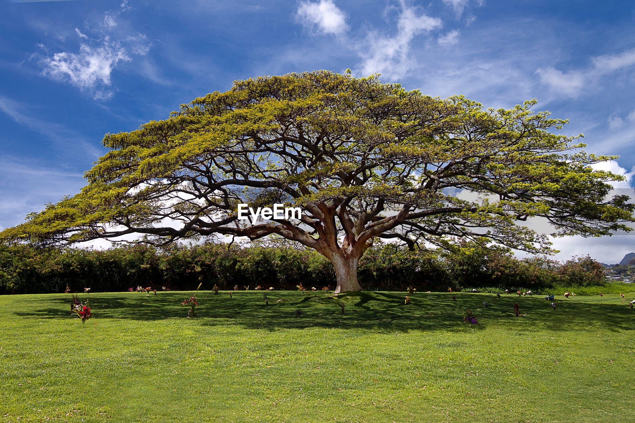 Tree In Green Field