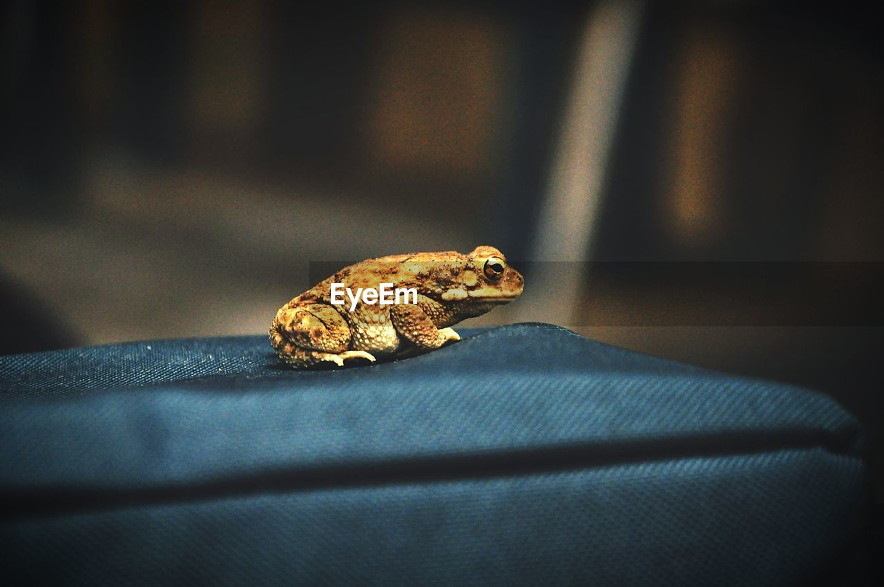 one animal, animal themes, animal, animals in the wild, animal wildlife, close-up, day, selective focus, no people, vertebrate, focus on foreground, nature, indoors, amphibian, frog, sunlight, reptile, textile, wall