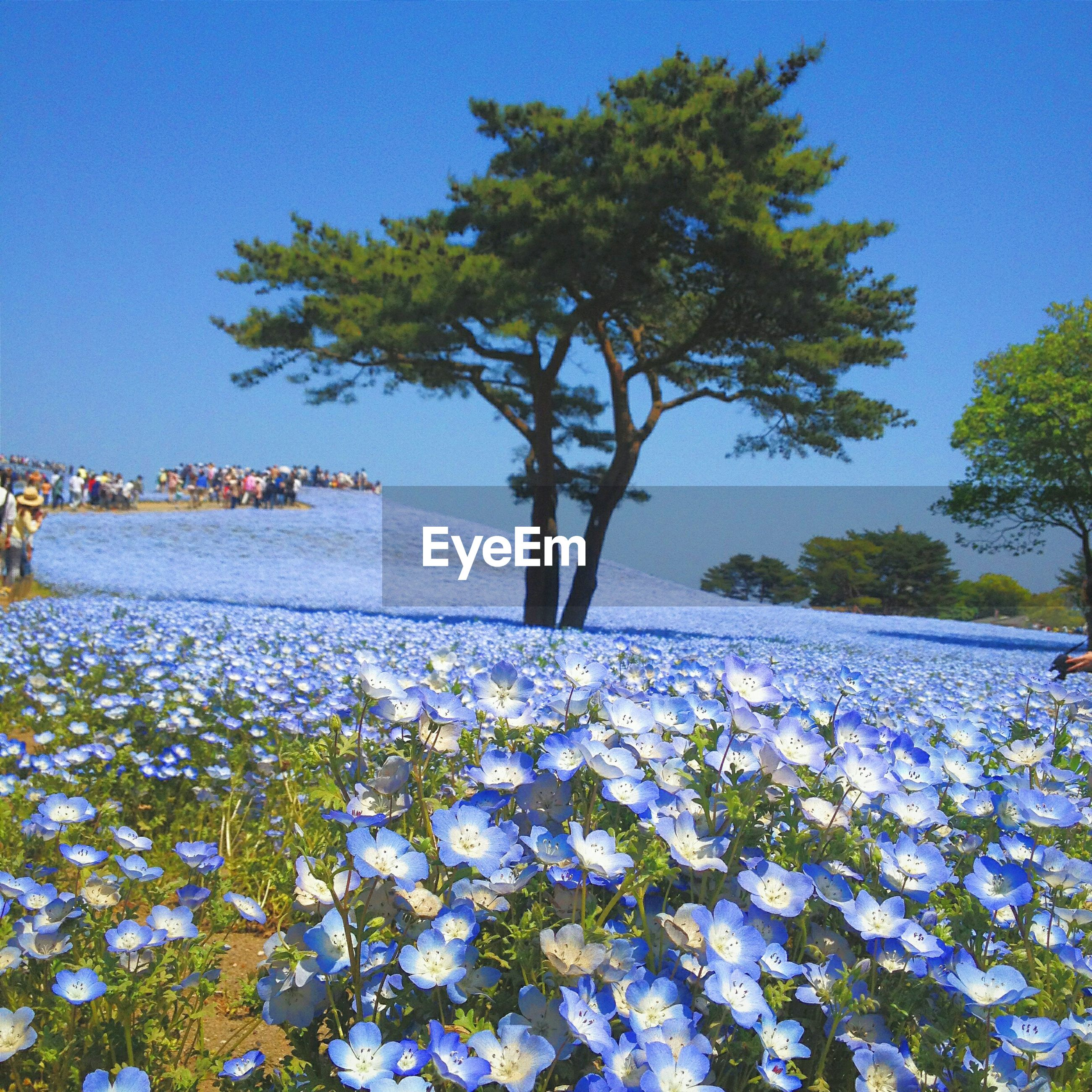 Blue flowers blooming on field against clear sky