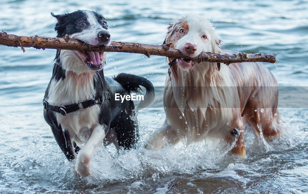 Dogs Carrying Stick In Mouth While Walking In Lake