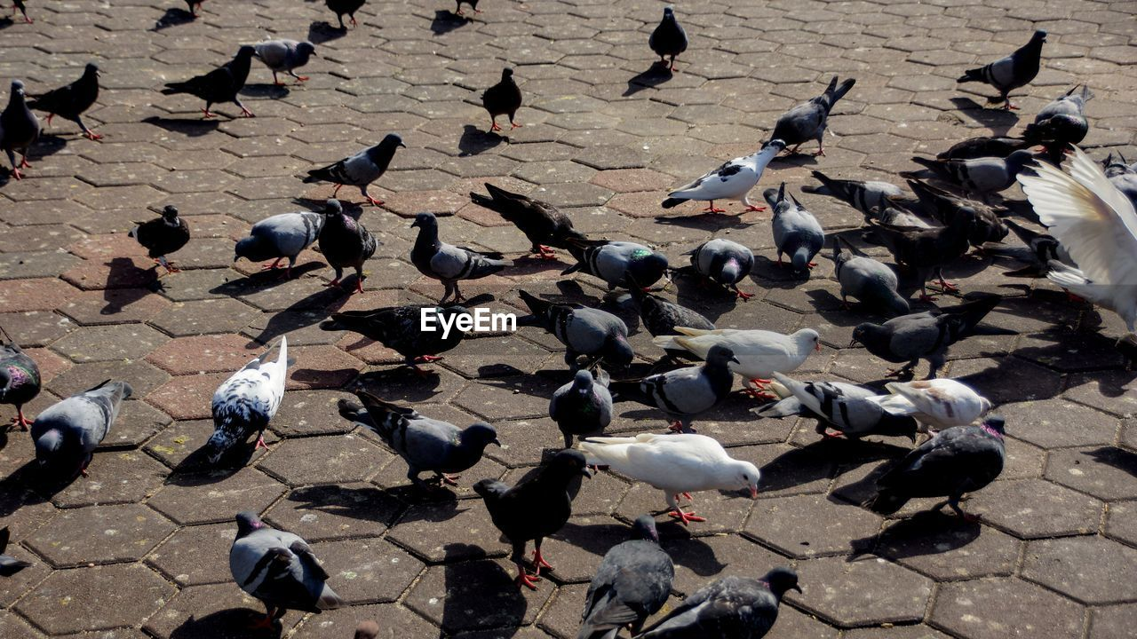 bird, animal, animal themes, animal wildlife, vertebrate, group of animals, large group of animals, animals in the wild, high angle view, pigeon, day, flock of birds, street, sunlight, no people, nature, outdoors, city, shadow, footpath