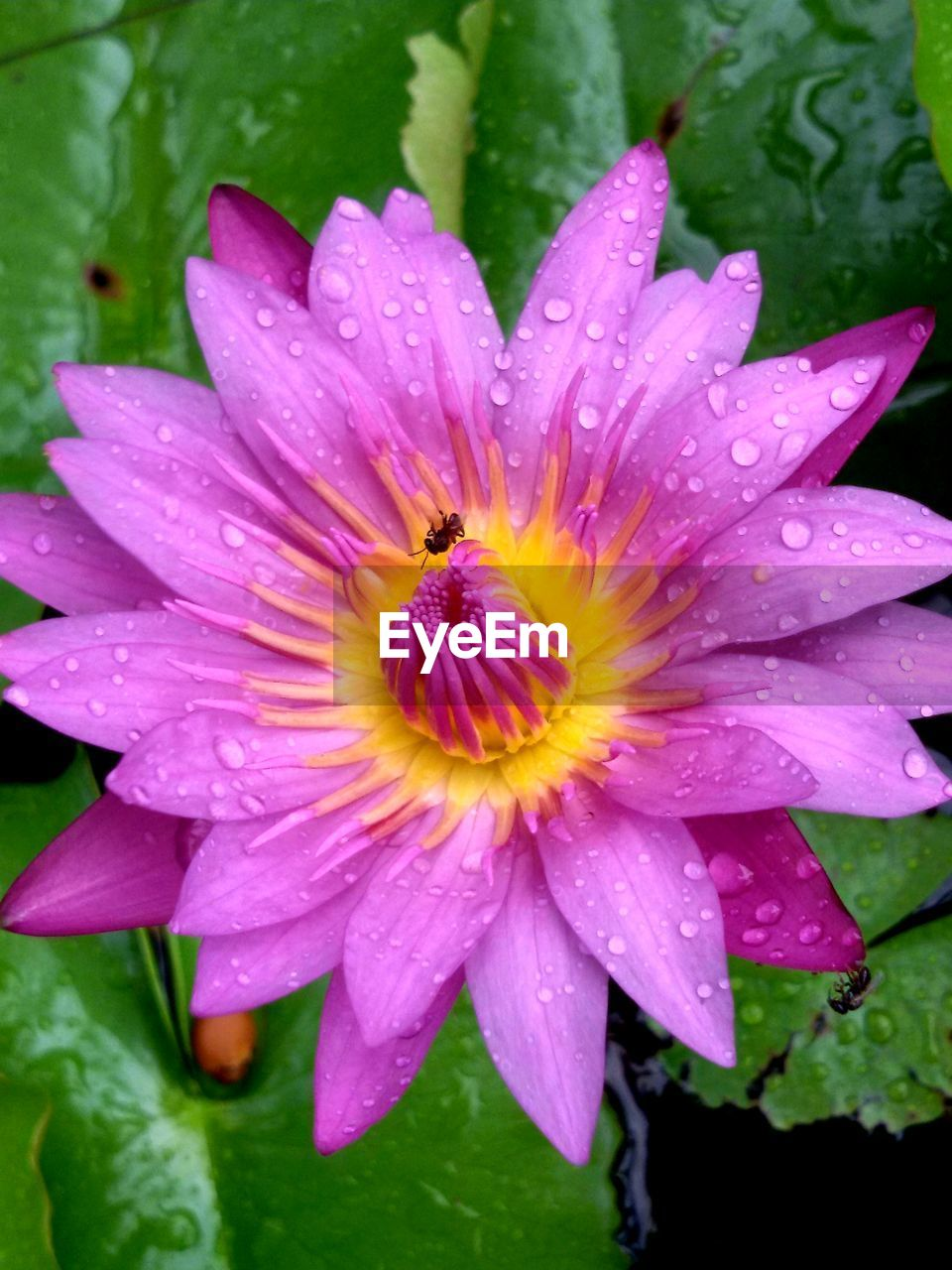 flowering plant, flower, fragility, beauty in nature, petal, vulnerability, plant, water, growth, drop, flower head, freshness, inflorescence, wet, close-up, nature, rain, no people, pink color, raindrop, pollen, dew, outdoors, purple, rainy season, purity