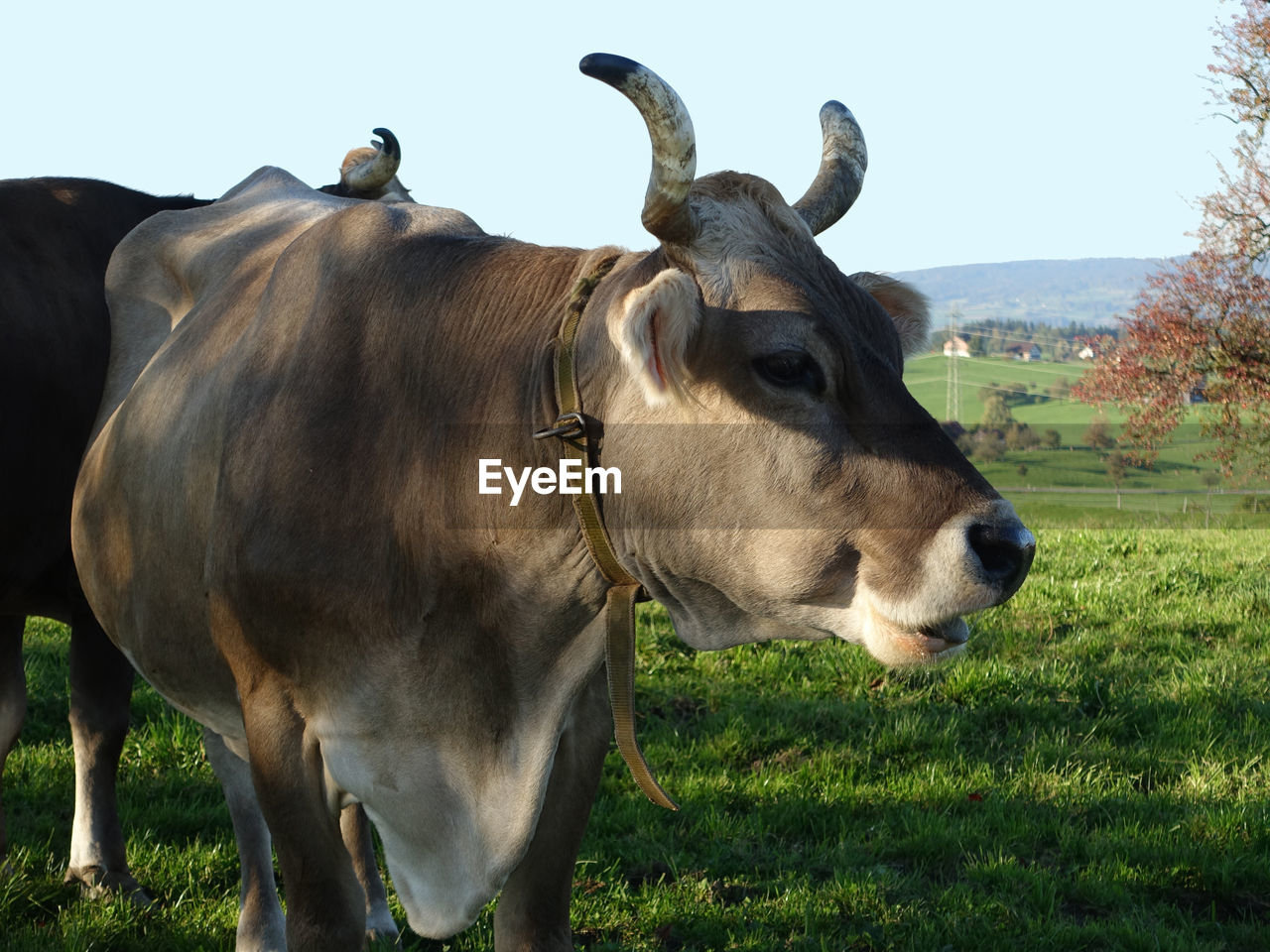 animal themes, mammal, domestic animals, livestock, field, cow, grass, cattle, day, clear sky, outdoors, no people, nature, standing, sky, close-up