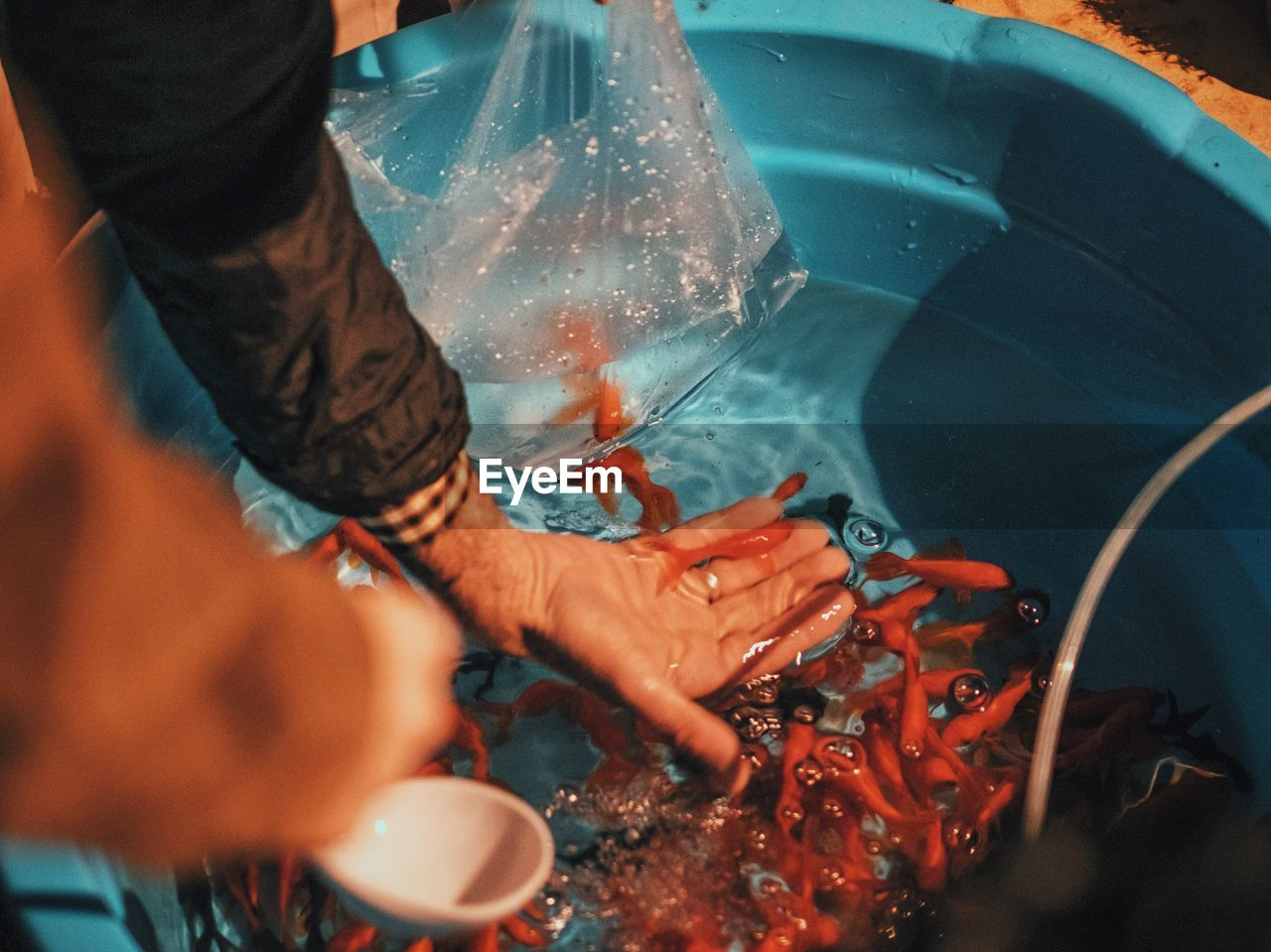 Cropped Image Of Man Putting Goldfish In Tub