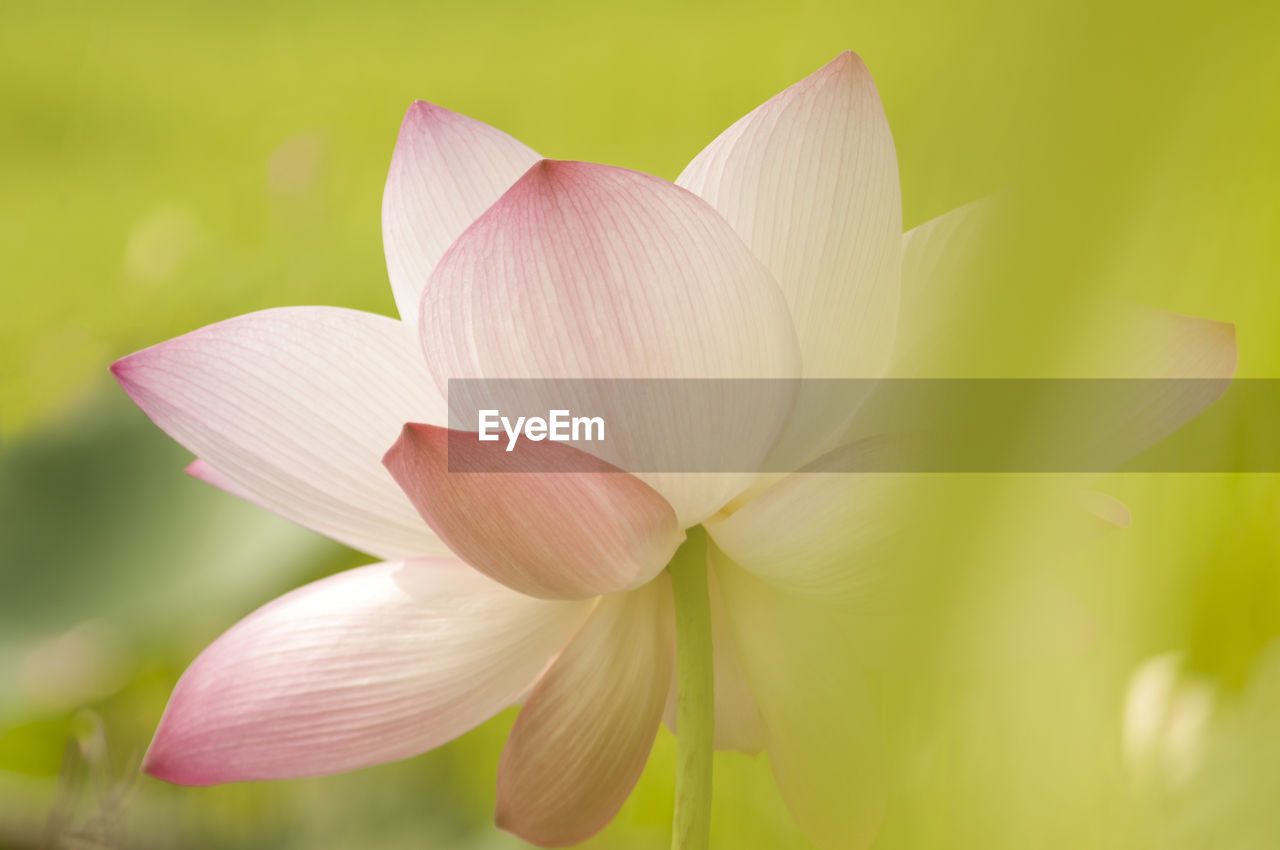 flower, flowering plant, petal, vulnerability, fragility, beauty in nature, plant, freshness, close-up, inflorescence, flower head, growth, nature, no people, lily, pink color, day, selective focus, outdoors, botany, lotus water lily