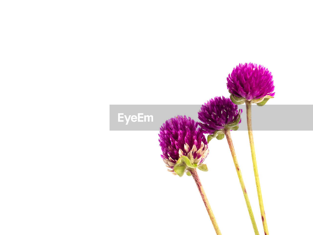 flower, purple, fragility, copy space, white background, nature, studio shot, freshness, close-up, petal, flower head, beauty in nature, pink color, no people, growth, day, outdoors, eastern purple coneflower