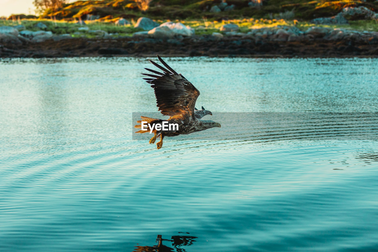 animal, animal themes, animals in the wild, animal wildlife, bird, water, vertebrate, one animal, flying, spread wings, lake, mid-air, nature, no people, waterfront, bird of prey, outdoors, day, motion, eagle, flapping