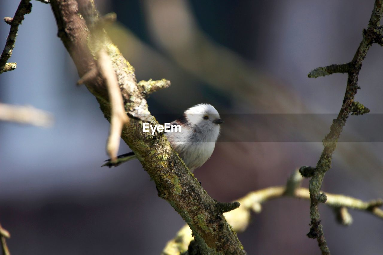 Low Angle View Of Long-Tailed Tit Perching On Bare Tree