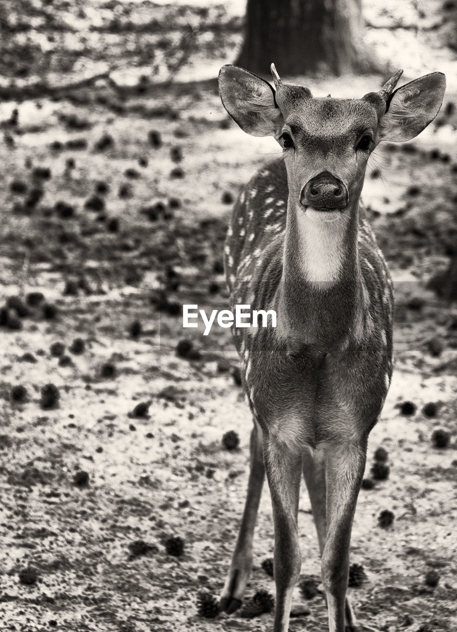 mammal, one animal, standing, looking at camera, portrait, land, field, domestic animals, vertebrate, animal wildlife, no people, day, focus on foreground, animals in the wild, nature, deer, outdoors, herbivorous