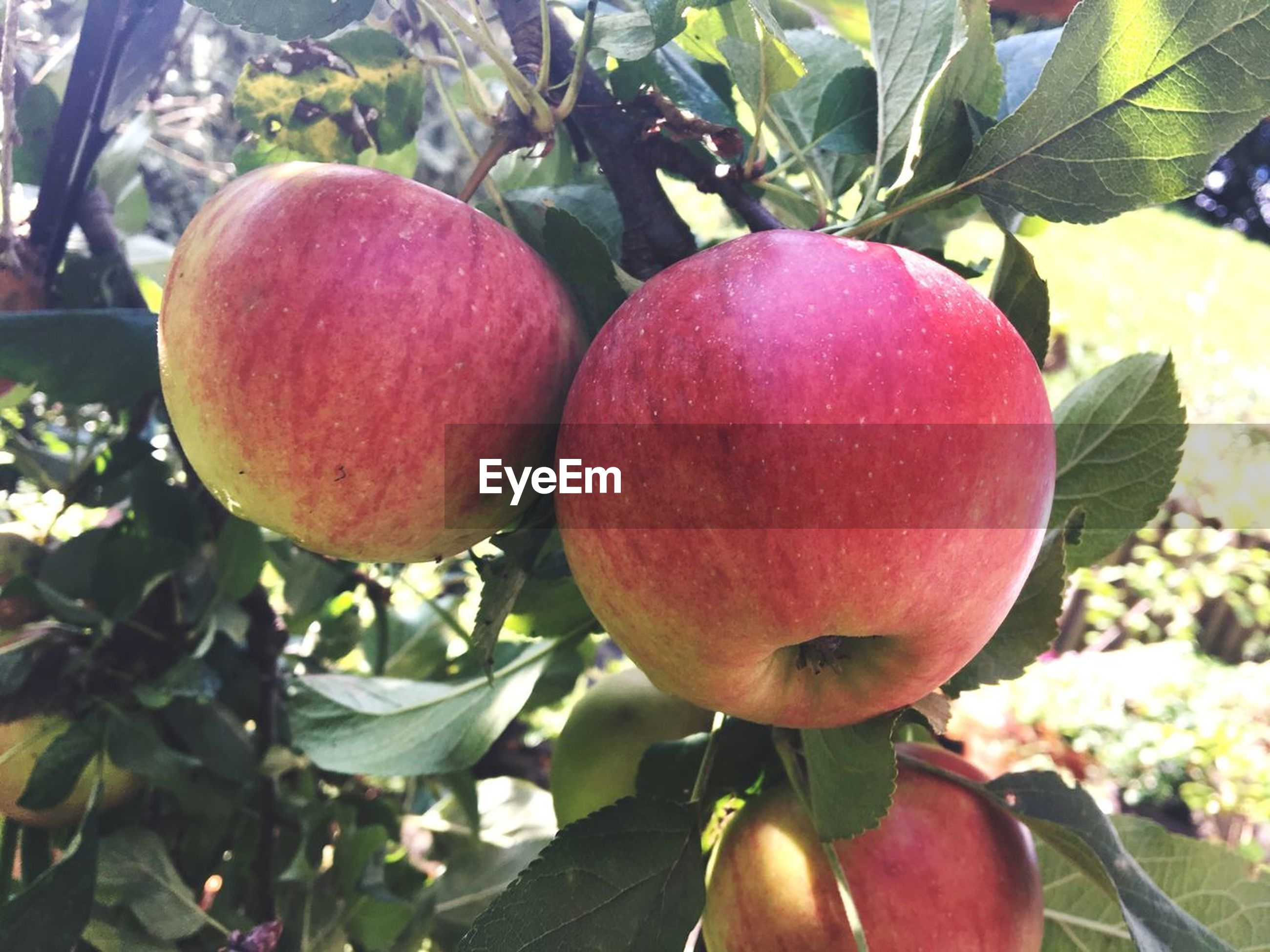 healthy eating, fruit, food and drink, food, freshness, growth, wellbeing, plant, tree, close-up, nature, day, leaf, red, plant part, fruit tree, no people, apple tree, focus on foreground, ripe, outdoors