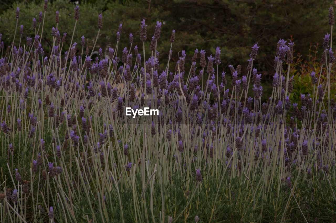 flower, flowering plant, purple, plant, growth, lavender, beauty in nature, field, land, fragility, vulnerability, lavender colored, freshness, nature, no people, close-up, day, outdoors, tranquility, botany, flowerbed