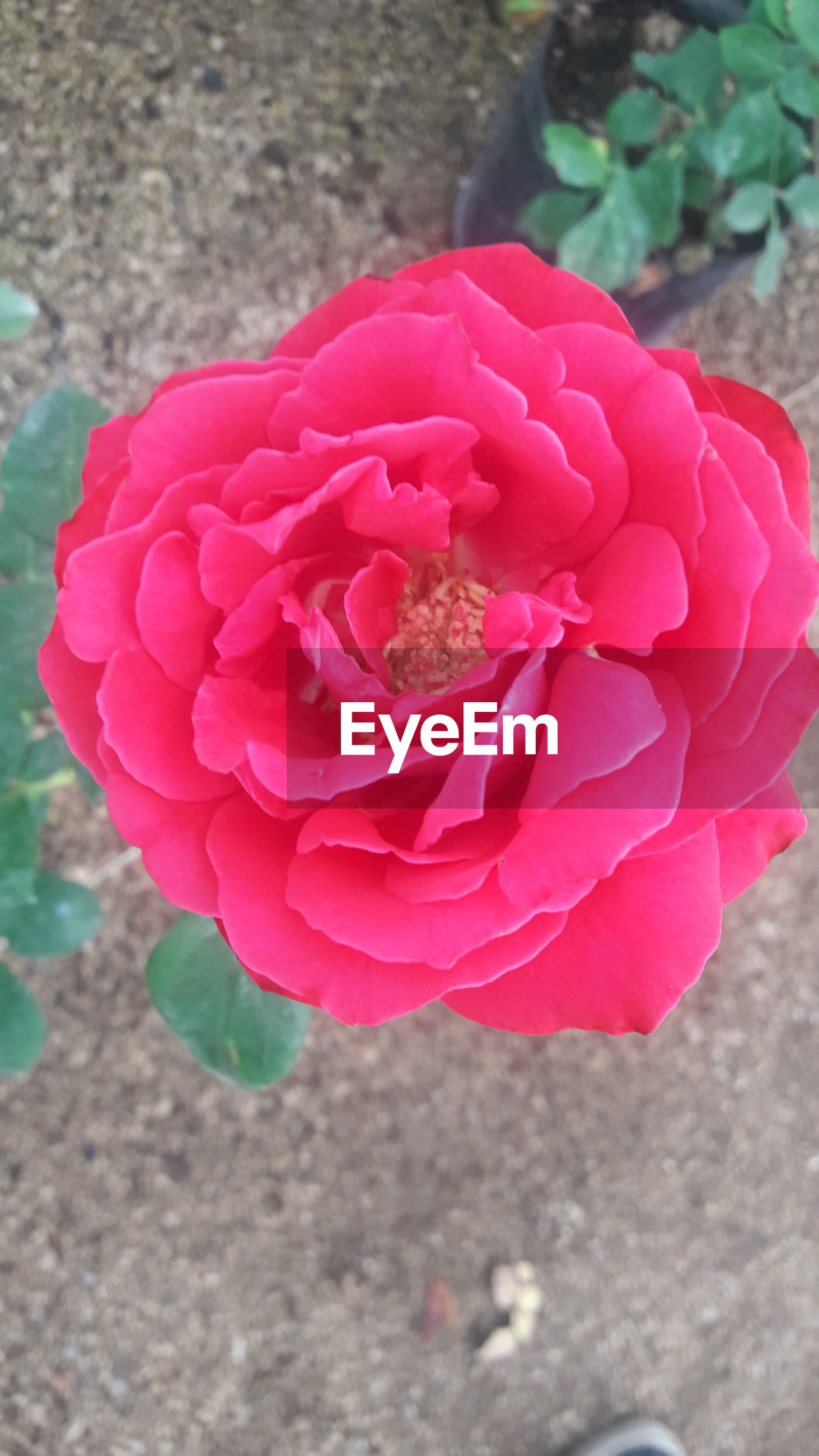 flower, petal, flower head, fragility, freshness, pink color, growth, beauty in nature, close-up, focus on foreground, nature, blooming, plant, red, rose - flower, in bloom, day, outdoors, no people, blossom, botany, selective focus, softness, pollen, growing