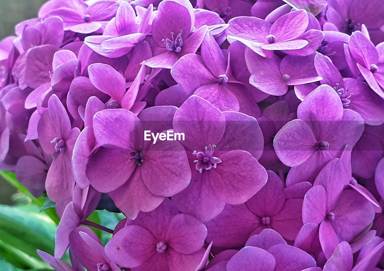flowering plant, flower, plant, freshness, petal, vulnerability, fragility, close-up, beauty in nature, growth, inflorescence, flower head, hydrangea, no people, nature, day, pink color, purple, park - man made space, park, springtime, bunch of flowers, lilac