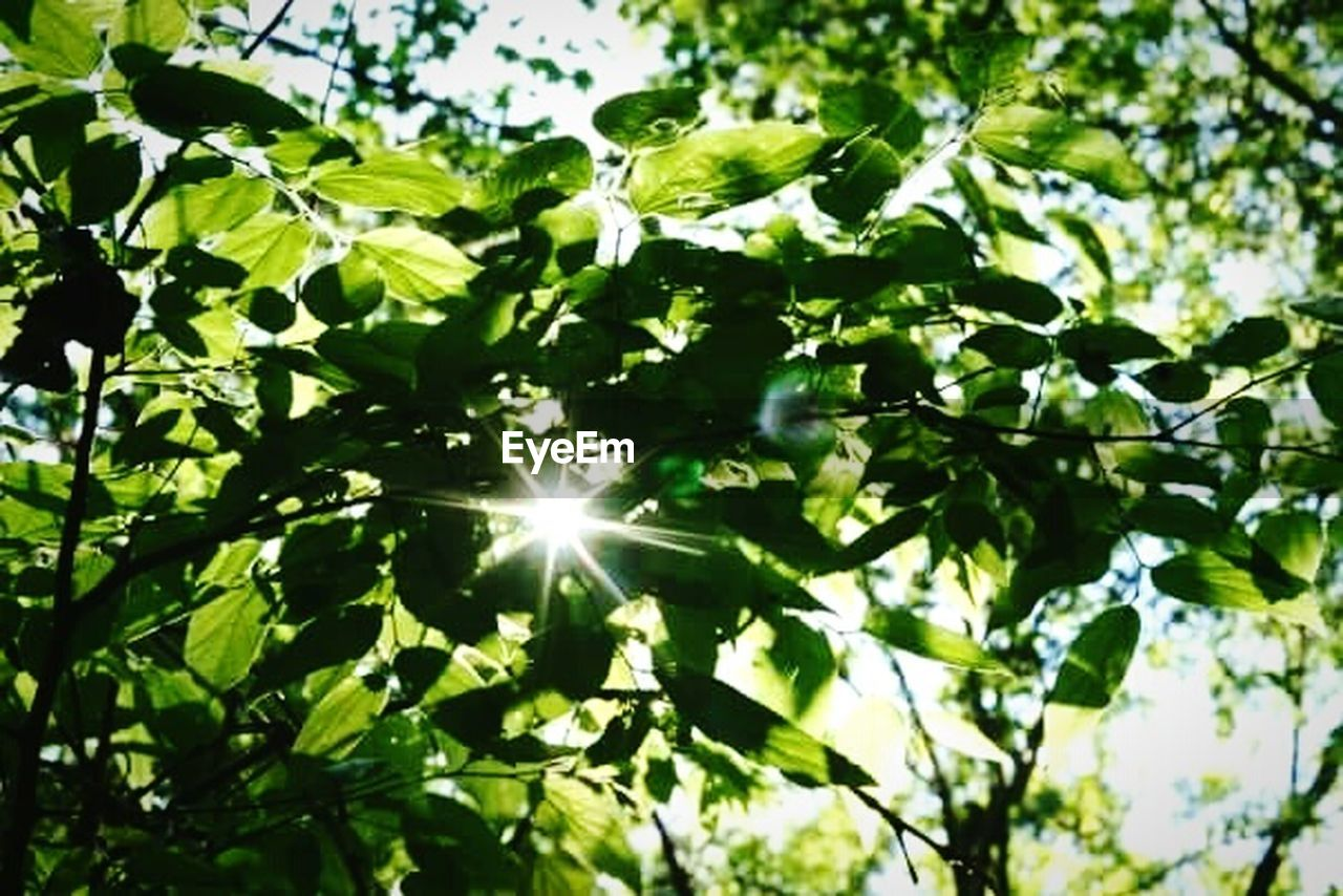 sun, sunbeam, sunlight, lens flare, nature, leaf, green color, tree, outdoors, low angle view, no people, growth, brightly lit, day, beauty in nature, scenics, branch, freshness, sky