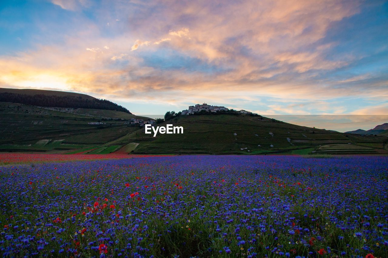 SCENIC VIEW OF PURPLE FLOWERS ON FIELD AGAINST SKY