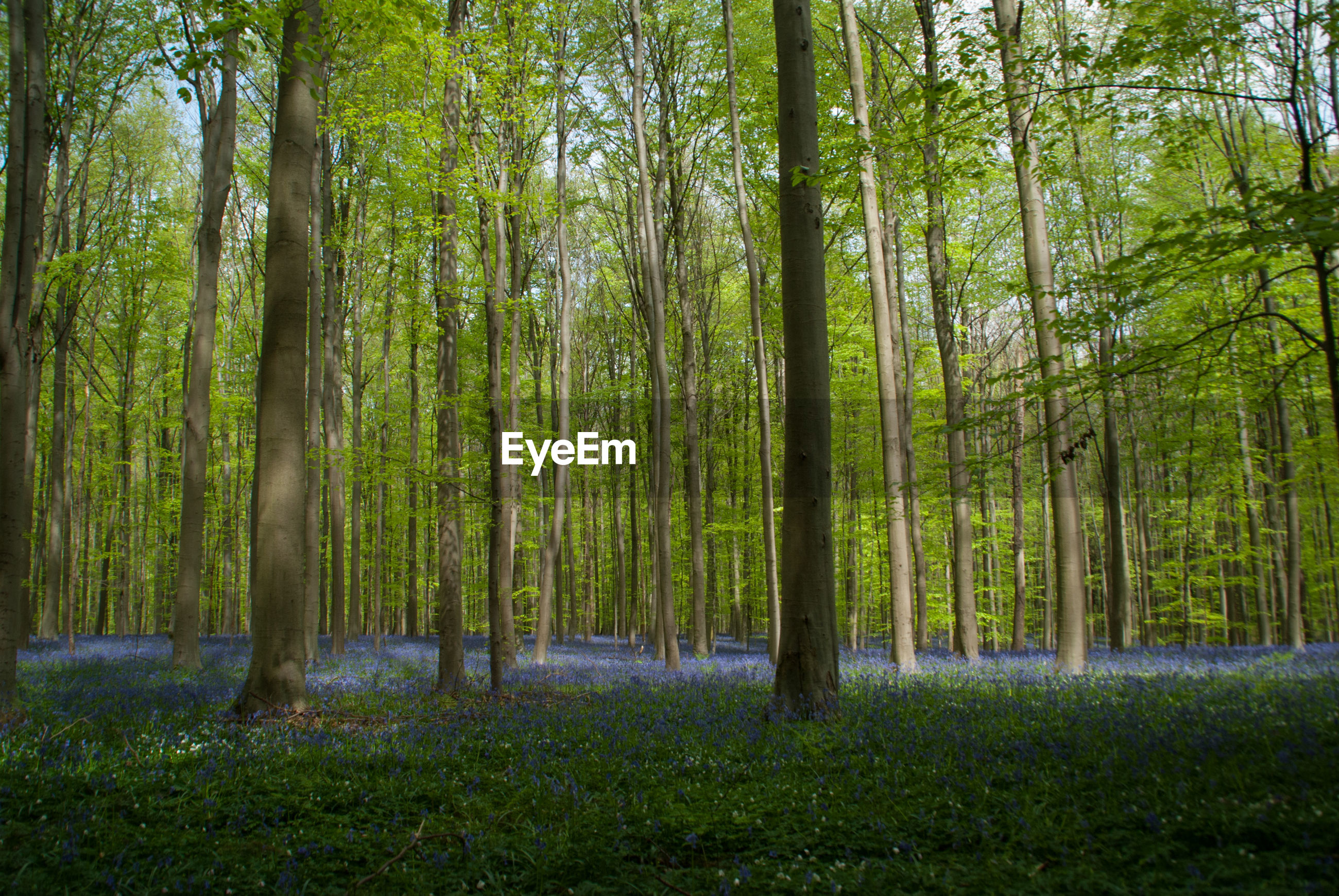 Hallerbos, blue flowers growing in the forest