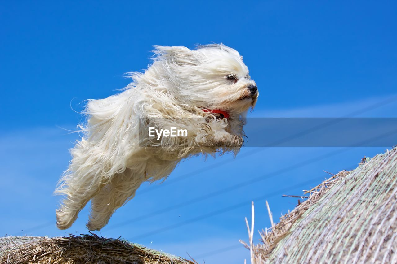 dog, canine, domestic, one animal, domestic animals, pets, animal themes, mammal, animal, sky, low angle view, vertebrate, blue, animal hair, no people, clear sky, day, nature, hair, outdoors