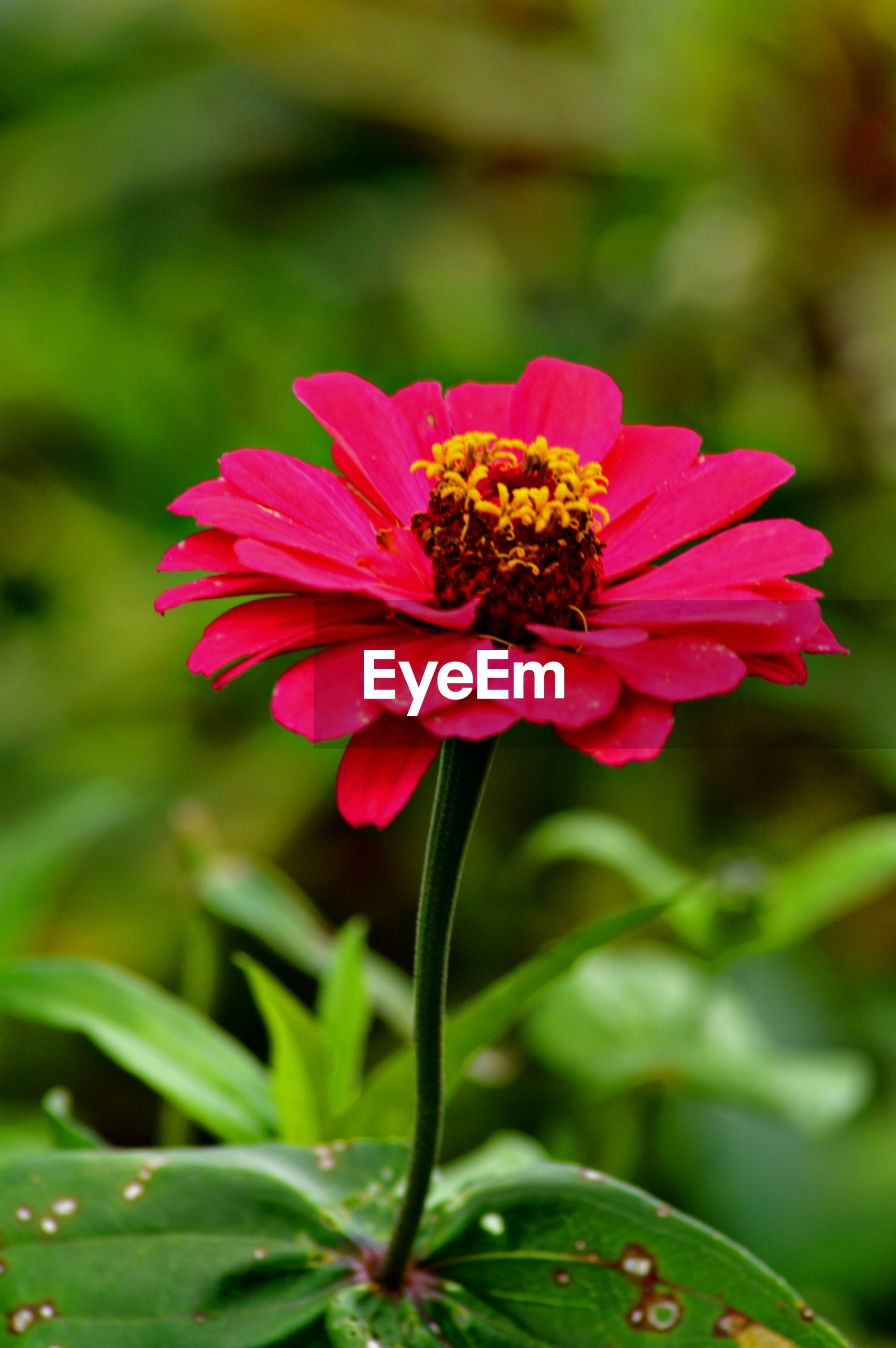 CLOSE-UP OF PINK COSMOS FLOWER ON PLANT