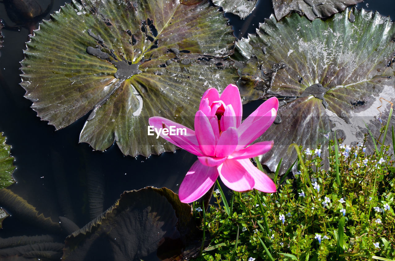 flower, beauty in nature, petal, growth, nature, fragility, flower head, plant, leaf, pink color, freshness, day, outdoors, no people, blooming, green color, close-up, water, lotus water lily