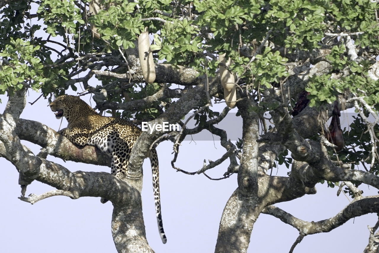 tree, plant, animal, animals in the wild, animal wildlife, branch, animal themes, nature, one animal, vertebrate, no people, mammal, day, growth, low angle view, outdoors, beauty in nature, sky, feline