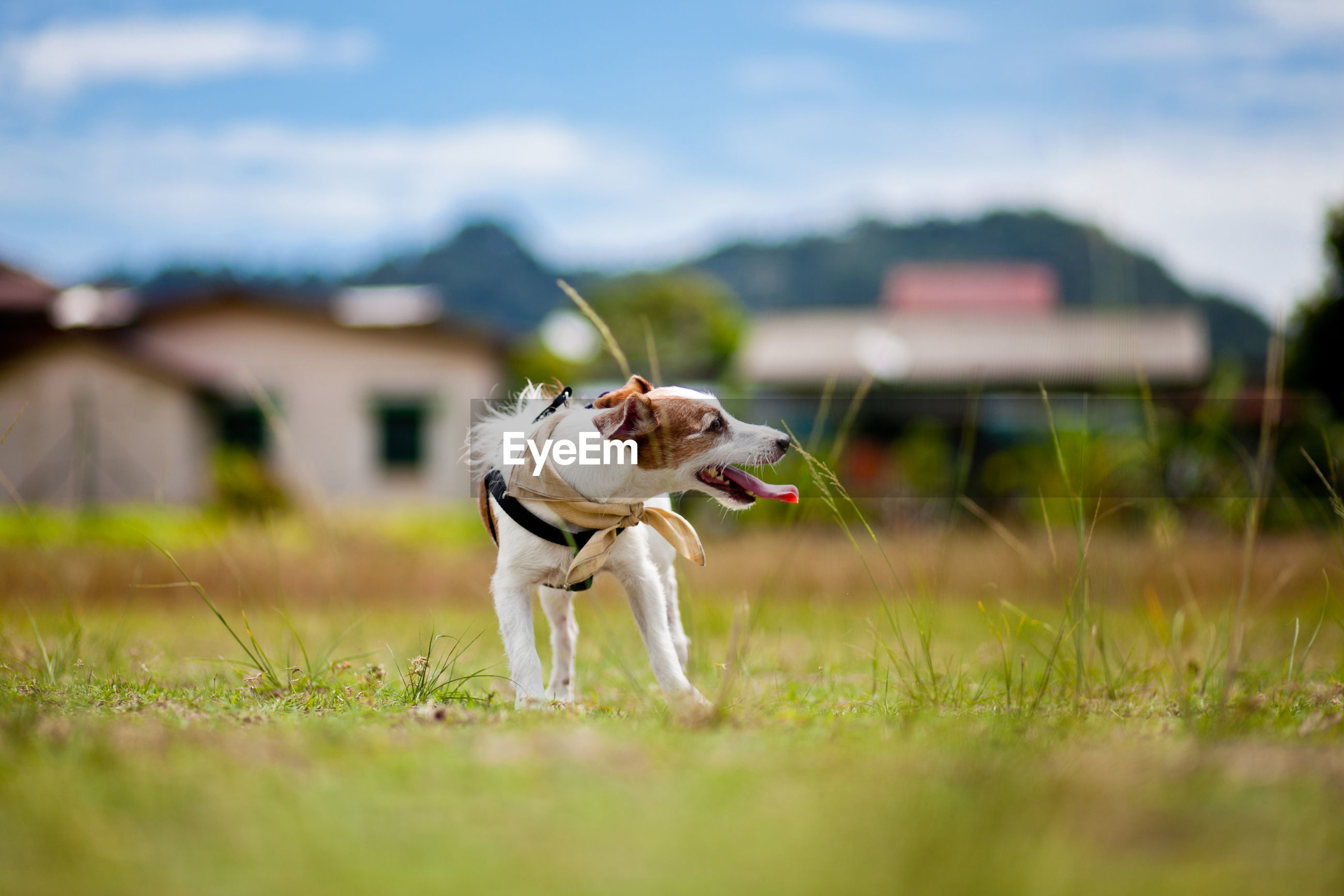 Full length of dog with sticking out tongue standing on field