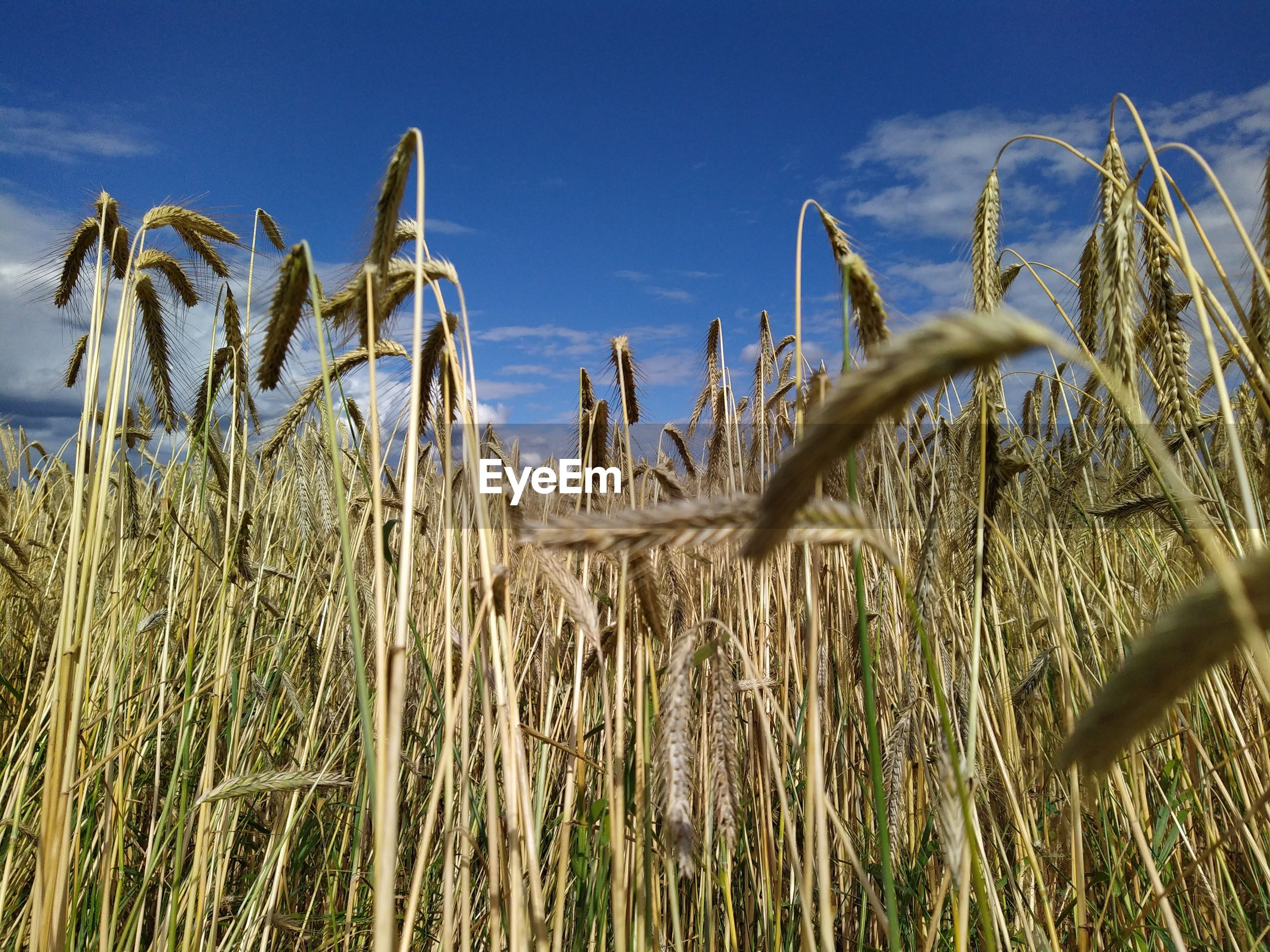 CLOSE-UP OF WHEAT FIELD AGAINST BLUE SKY