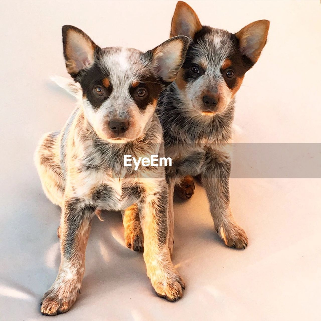 High Angle Portrait Of Puppies
