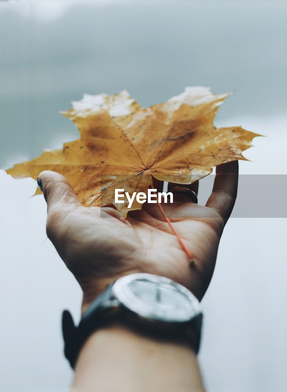 Cropped Image Of Person Holding Maple Leaf During Autumn