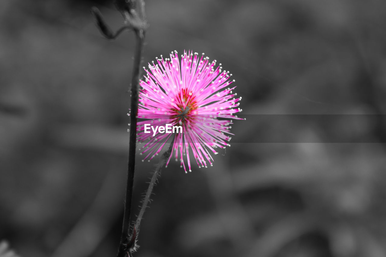 flower, fragility, focus on foreground, purple, flower head, growth, nature, petal, outdoors, beauty in nature, plant, day, freshness, pink color, close-up, no people, blooming, thistle