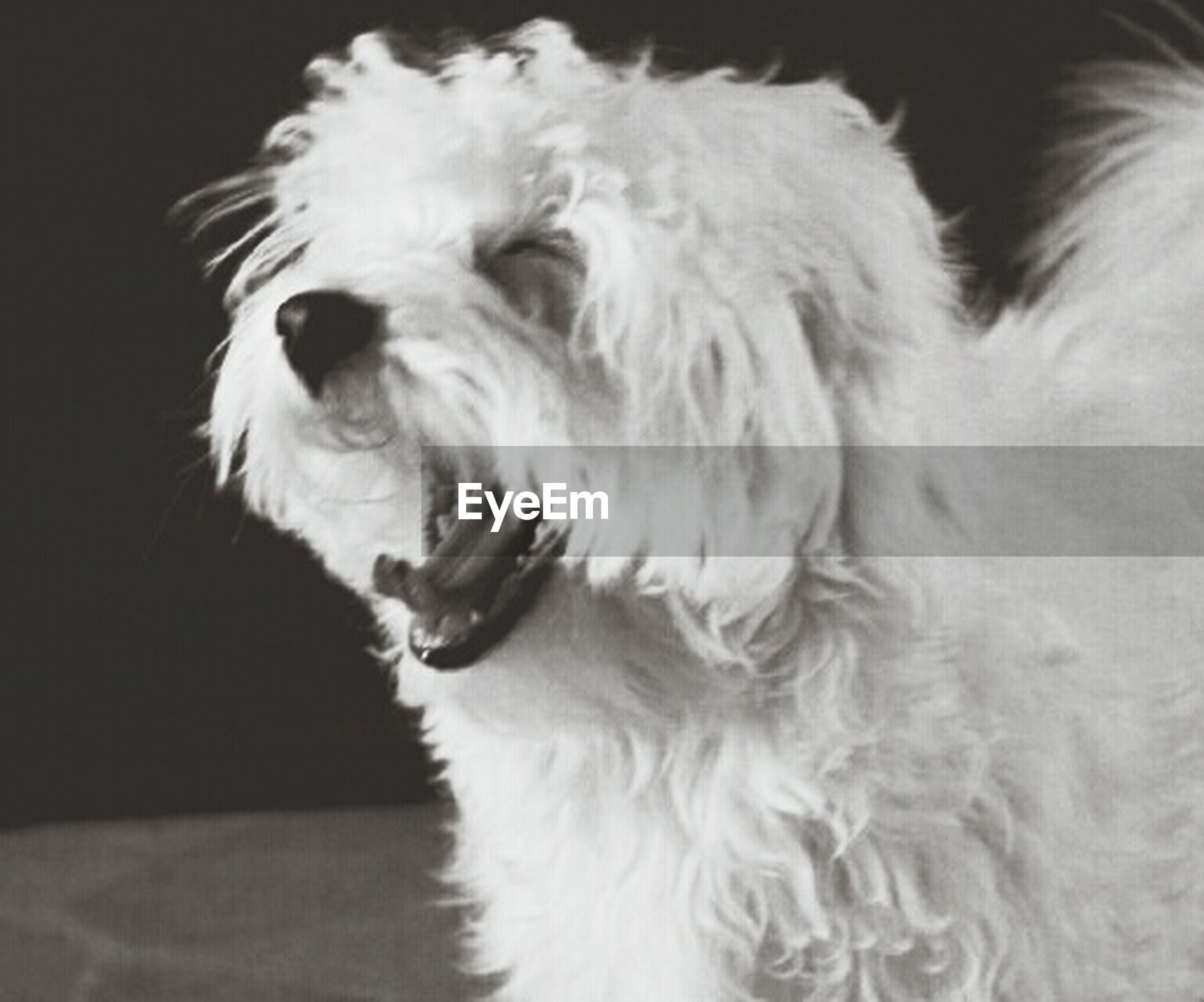 pets, domestic animals, one animal, animal themes, mammal, dog, indoors, animal hair, white color, animal head, close-up, portrait, looking at camera, loyalty, no people, animal body part, pampered pets, cute, white