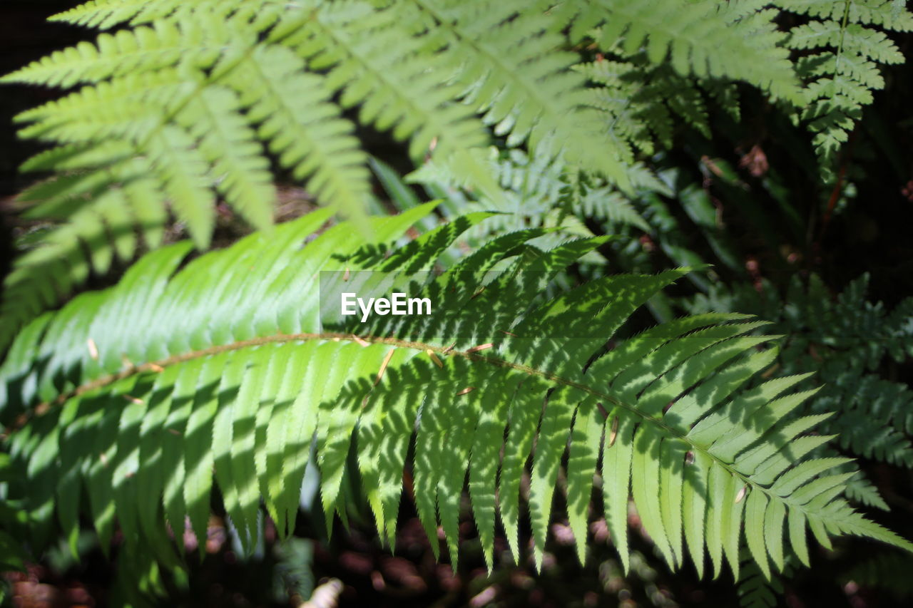 green color, leaf, nature, growth, fern, beauty in nature, frond, close-up, day, no people, plant, freshness, outdoors