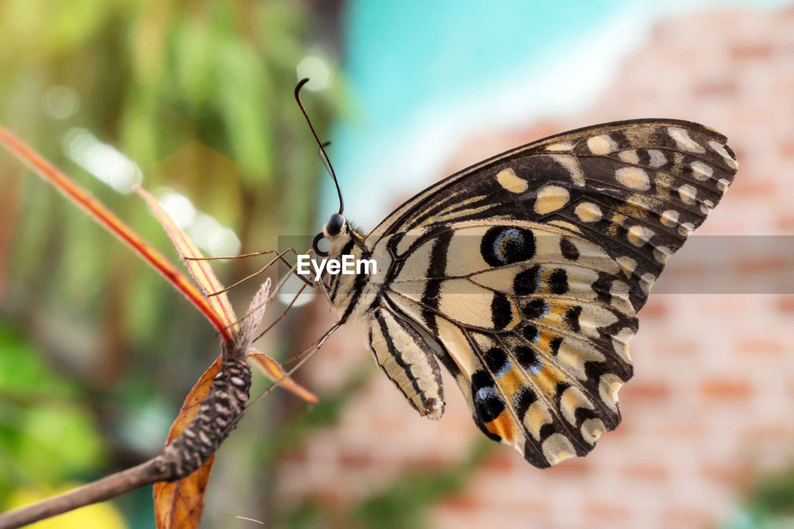 CLOSE-UP OF BUTTERFLY POLLINATING