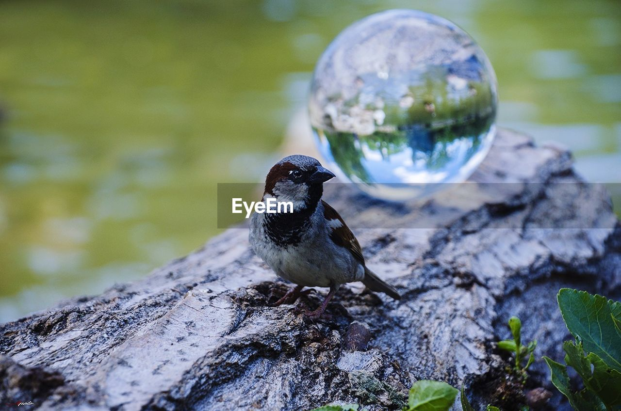 animal themes, one animal, animals in the wild, animal wildlife, focus on foreground, no people, nature, reflection, bird, day, outdoors, water, close-up, perching